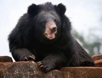 Фото. Черный медведь нацелился на добычу