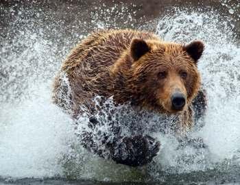 Фото. Медведь бежит по воде