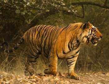 Фото. Тигрица вышла из лесу