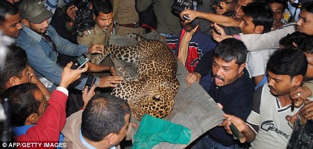 Фото. Леопарда выносят на руках