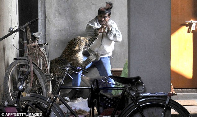 Фото. Леопард напал на индийца
