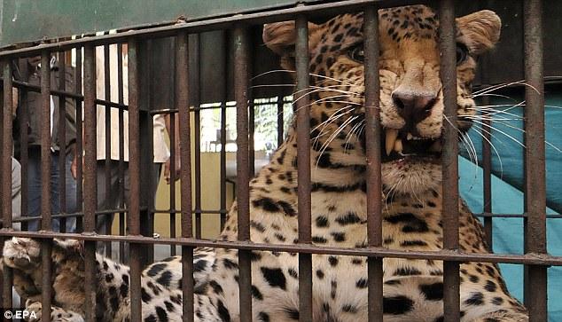 Фото. Закрытый леопард в клетке