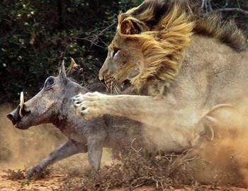 Фото. Лев догоняет убегающего кабана