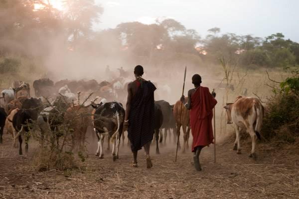 Фото. Два кенийца и стадо коров