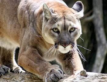 Фото. Горный лев готовится напасть