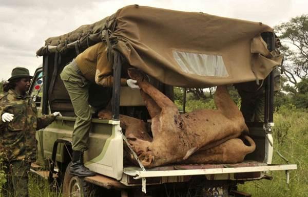Фото. В Кении убиты львы