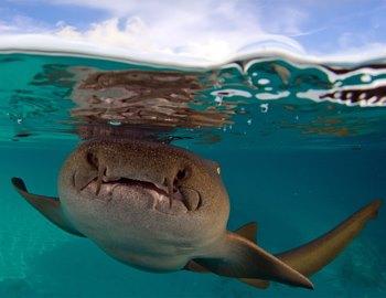 Фото. приближается акула-нянька