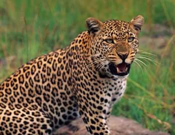 Фото. Опасный леопард