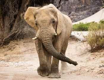 Фото. Бегущий слон