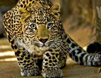 Фото. Леопард хитро подбивается ближе