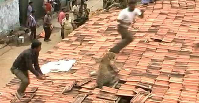 Фото. Лепард проломил крышу дома