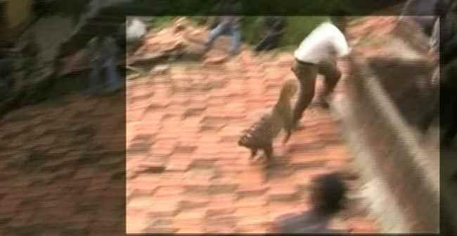 На крыше леопард напал на человека