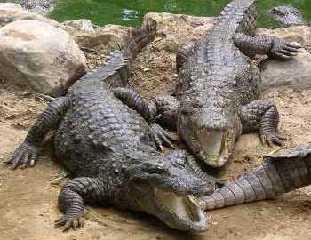 Фото. Крокодилы открыли свои пасти