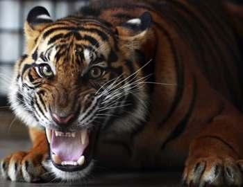 Фото. Тигр прижался к полу и рычит