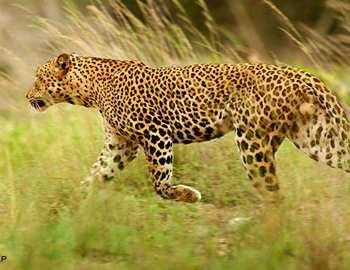 Фото. леопард напавший на детей