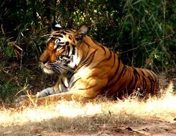 Фото. Тигрица лежит отдыхает в теньке