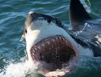 Белая акула раскрыла свою пасть