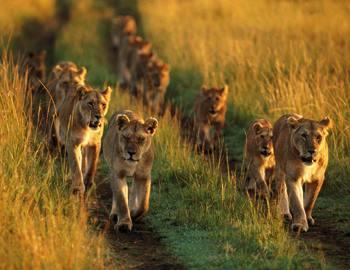 Фото. Львы идут на охоту на восходе