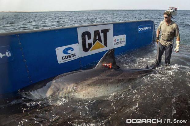 Исследователи поймали белую акулу