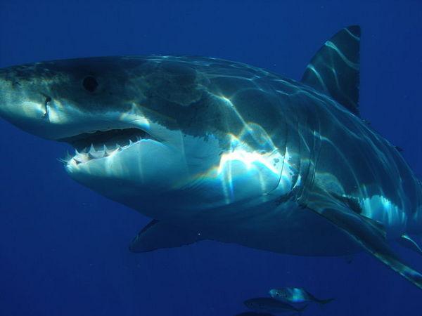 Свободно плавающая белая акула