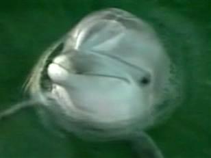 Дельфин отбил парня у акулы