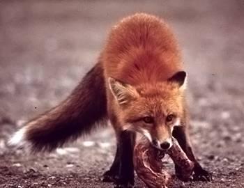 В Англии люди пострадали от лисы