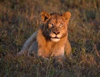 Львица готова напасть