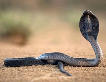 Очковая кобра вылезла погреться