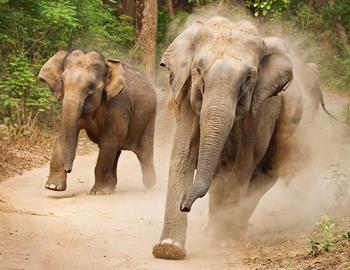 Советы как спастистись от слона