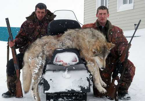 кровожадного волка убили два брата