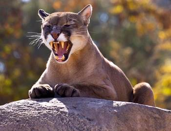 пума седит на камне и паказывает зубы