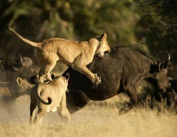 львица нпала на свою добычу