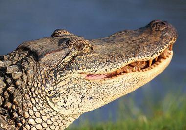 аллигатор двупалый Том