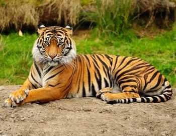 в индии тигр напал на пьяного мужчину