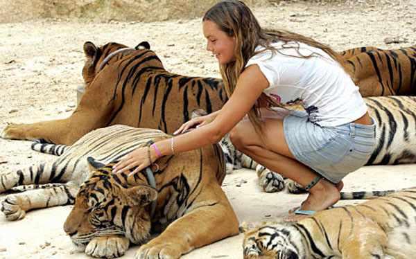 девушка гладит тигров