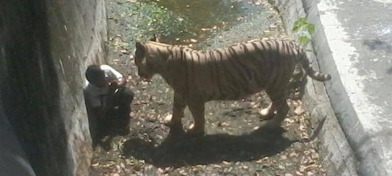 парень пробрался в клетку к тигру