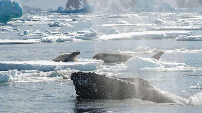 косатки охотится на тюленя