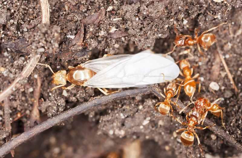 матка со своими рабочими муравьями