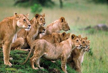 танзанские львы