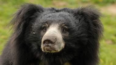 медведь-ленивец