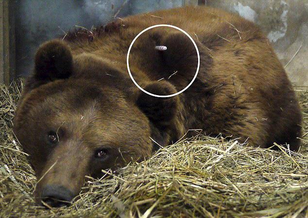 прострелянный медведь