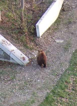 медведю пуля попала в грудь