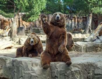 любитель публики - медведь