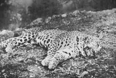 известный леопард по убийствам