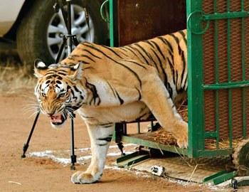последние нападения тигров в Индии