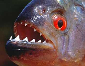 рыбы пираньи атакуют людей