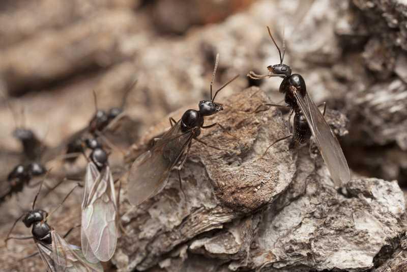 самцы муравьев дерутся за королеву