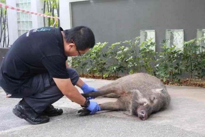 кабан, который напал на мужчину в Сингапуре