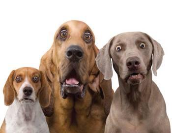 три аггресивные собаки