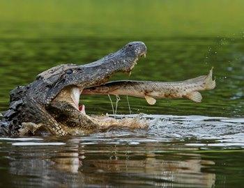 крокодил охотится на рыбу
